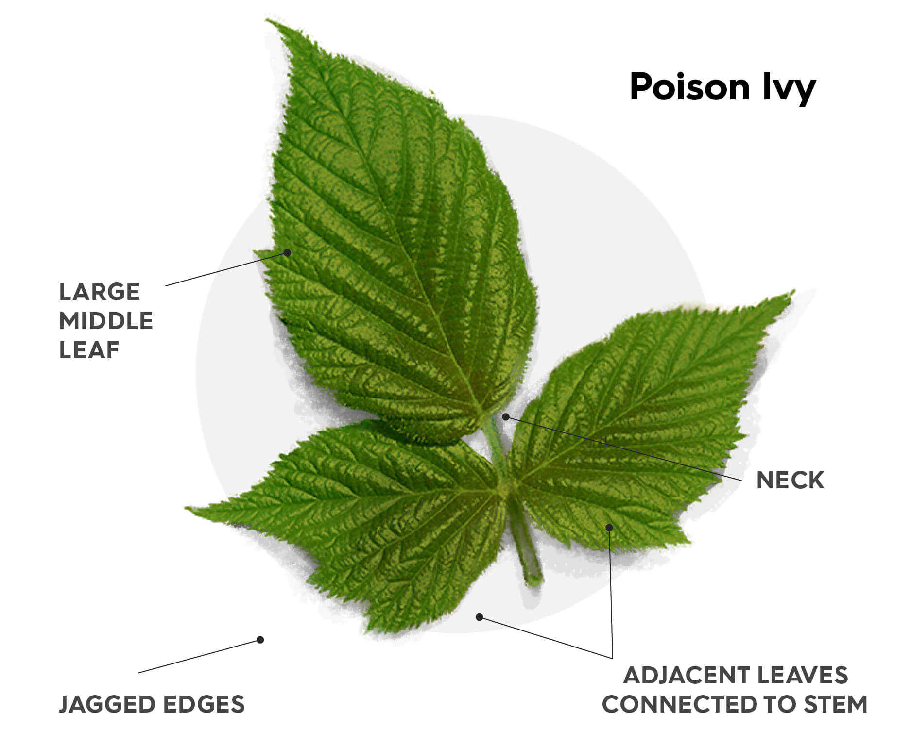 """A diagram showing how to identify poison ivy. These are the hallmarks of poison oak; Three leaves where the left and right are adjacent from each other connected to the main stem where as the middle, larger leaf, is connected to the main stem by a short """"neck"""". The leaves of poison ivy have jagged edges."""