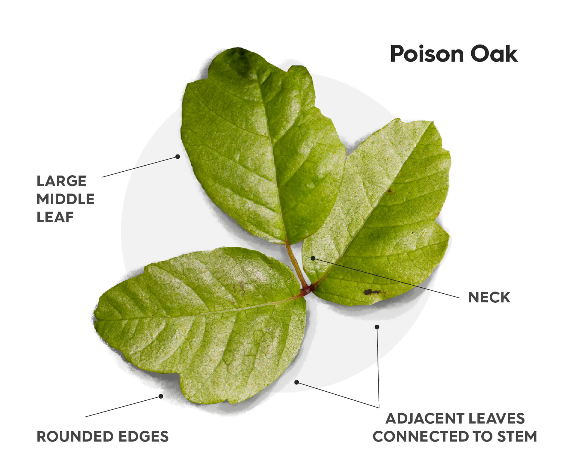 """A diagram showing how to identify poison oak. These are the hallmarks of poison oak; Three leaves where the left and right are adjacent from each other connected to the main stem where as the middle, larger leaf, is connected to the main stem by a short """"neck"""". The leaves of poison oak resemble oak tree leaves with similar rounded edges."""